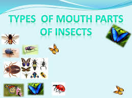 Mouth parts in insects Biting and Chewing: